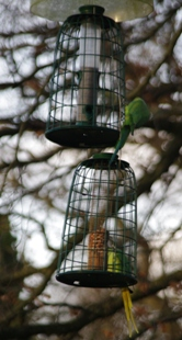 Fat parakeets
