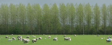 poplars1