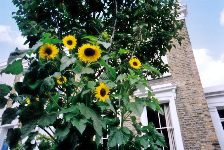 Sunflower 2aa.jpg